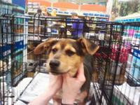 Beagle - Jake - Medium - Adult - Male - Dog Jake is a