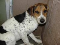 Beagle - Jed - $35 - Medium - Young - Male - Dog Jed is