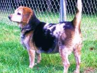 Beagle - 'jenny' - Small - Senior - Female - Dog HI...