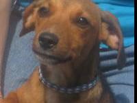 Beagle - Jetta - Medium - Young - Female - Dog Miss