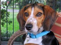 Beagle - Juan Pablo - Medium - Young - Male - Dog