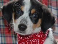Beagle - Julian - Medium - Baby - Male - Dog We would