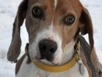 Beagle - Justin - Medium - Adult - Male - Dog Justin is
