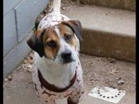 Beagle - Keon - Medium - Young - Male - Dog Posted