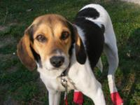 Beagle - Lady (martha) - Small - Young - Female - Dog