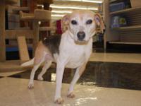 Beagle - Lady - Part Of Bonded Pair - Medium - Adult -