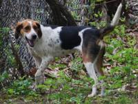 Beagle - Laverne - Medium - Young - Female - Dog