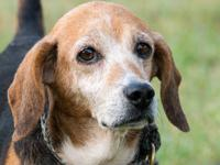Beagle - Lewis - Small - Adult - Male - Dog This is