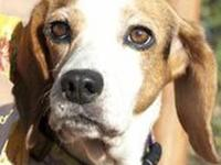 Beagle - Lilly - Small - Adult - Female - Dog Little