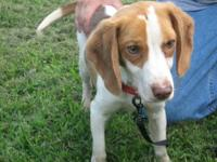 Beagle - Little Louie - Small - Adult - Male - Dog