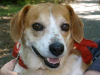 "Beagle - ""little Lucy"" - Small - Adult - Female - Dog"