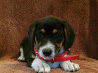 Cute Beagle Puppy Girl, 2 months old, vaccines and