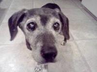 Beagle - Lola - Small - Senior - Female - Dog Hi,