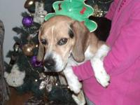 Beagle - Lucky - Medium - Adult - Male - Dog Update