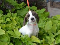 Beagle - Ludo - Small - Baby - Male - Dog Beautiful