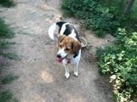 Beagle - Maggie 2 Of 2 - Medium - Adult - Female - Dog
