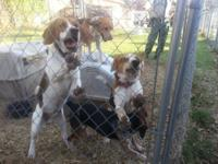 I hunt beagle dogs. These are well significant and have