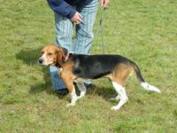 Beagle - Marshall - Medium - Adult - Male - Dog All