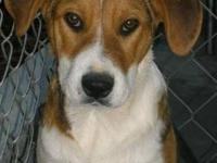 Beagle - Marty - Medium - Adult - Male - Dog This