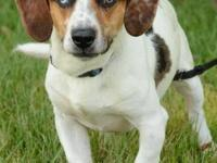 Beagle - Marty - Medium - Young - Male - Dog This