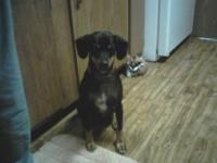 Beagle - Max-$125- Nice Dog! - Medium - Young - Male -
