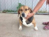 Beagle - Max - Small - Adult - Male - Dog COURTESY