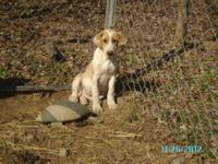 Beagle - Mercury - Small - Young - Female - Dog