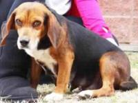 Beagle - Mia - Medium - Adult - Female - Dog Mia is a