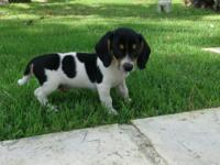 Beagle / Mini Dachshund Mix. Black, tan, and white male