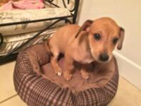 Female beagle and miniature dachshund mix puppy for