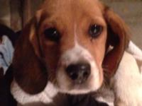 adorable beagle mix dogs. 12 weeks old. Simply pulled