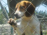Beagle - Nikki - Medium - Young - Female - Dog Hello my