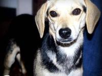 Beagle - Paisley-local - Small - Young - Female - Dog