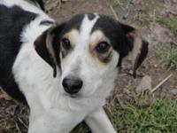 Beagle - Peaches - Medium - Young - Female - Dog