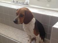 Beagle - Peaches - Small - Adult - Female - Dog Peaches
