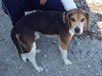 Beagle - Pete - Small - Adult - Male - Dog He is very