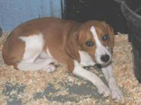 Beagle - Pickles - Medium - Young - Male - Dog Meet