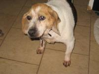 Beagle - Piper - Medium - Young - Female - Dog PIPER IS