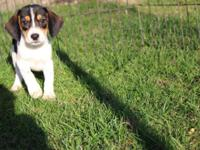 1 adorable puppy left! Caring young puppies complete of