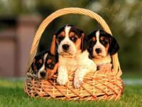 I have four beautiful beagle puppies available. Three