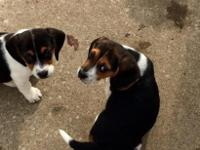Full blooded beagle puppies, both are female. They are