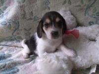 "Cute 13"" Beagle dogs. Simply 2 female tri colour"