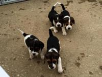 Full blooded beagle puppies, just turned 8 weeks old!!