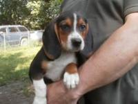 Beagle Puppies, Male and Female, $300 and up,