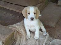We have a male lemon pure bred beagle and 2 female