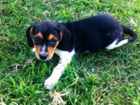 Beagle puppies for sale. 8 weeks old. 1 male and 2