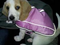 DESIRED: Forever houses for our Beagle Pups! Our mama