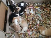 9 week old beagle puppies lemon and white and tri