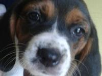 Blessed, healthy and cute beagle puppies! These cute