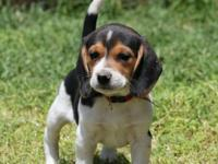 Super cute beagle babies. 2 girls, one boy left. First